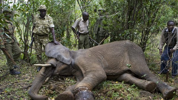 the illegal and legal process of elephant poaching Elephant poaching statistics african elephants are split into two distinct species: the african bush elephant , the most prevalent species, and the smaller african forest elephant  the bush elephant is the world's largest living species of land animal.