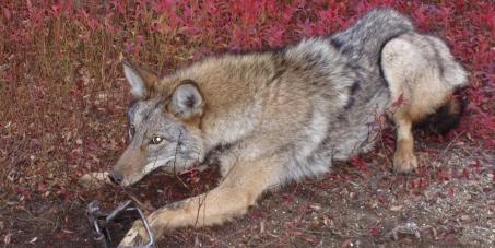 Canada Goose kids online shop - Canada Goose Inc. Stop using fur from Coyotes - Linkis.com