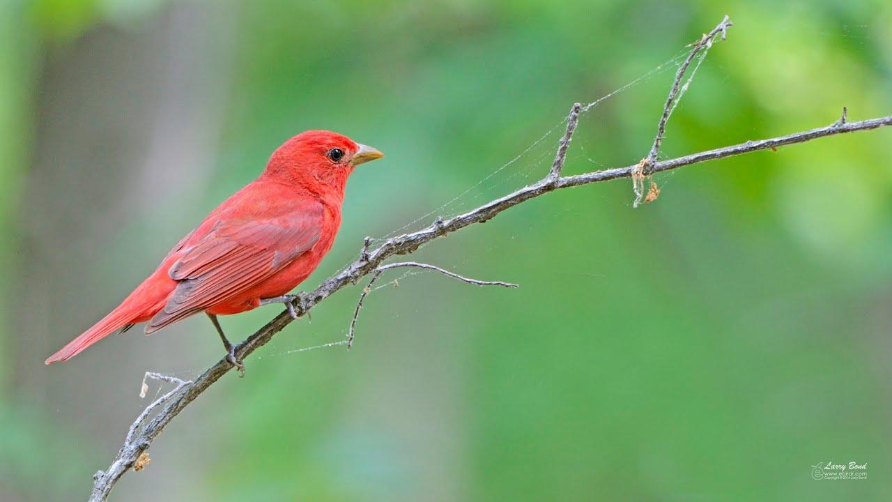 Summer Tanager The Rosy Redbird Youtube Linkis Com