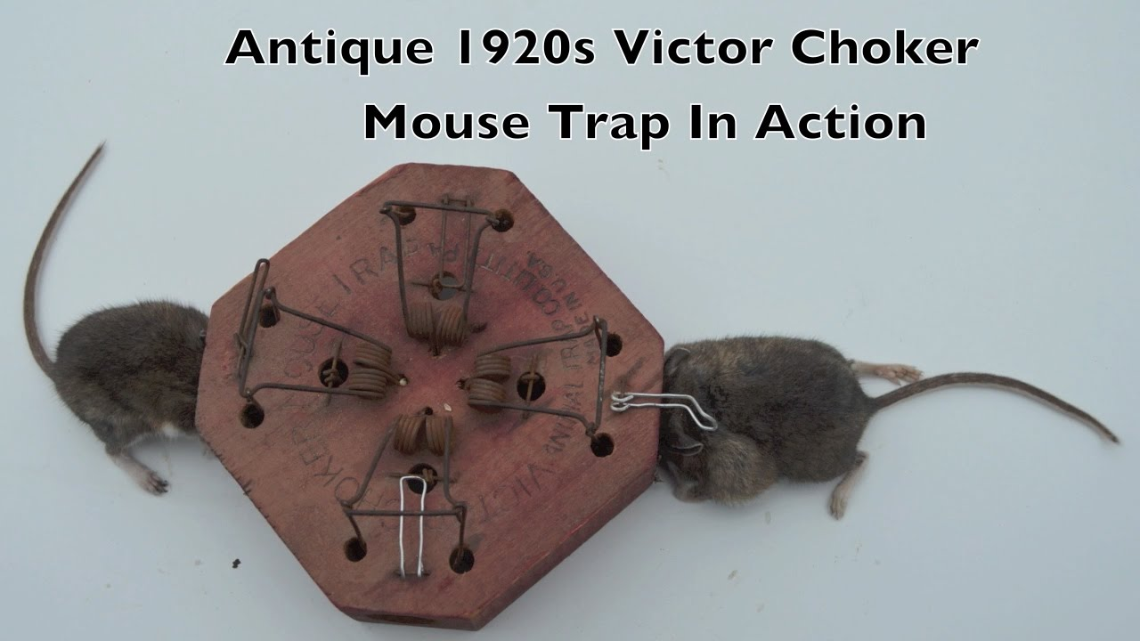 Antique Choker Mouse Trap In Action and a Huge Parasitic Bot Fly ...